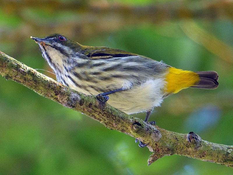 Yellow-vented Flowerpecker - Francis Yap