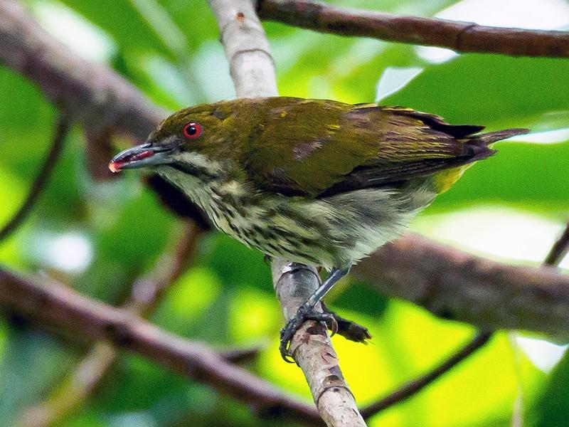 Yellow-vented Flowerpecker - Karyne Wee