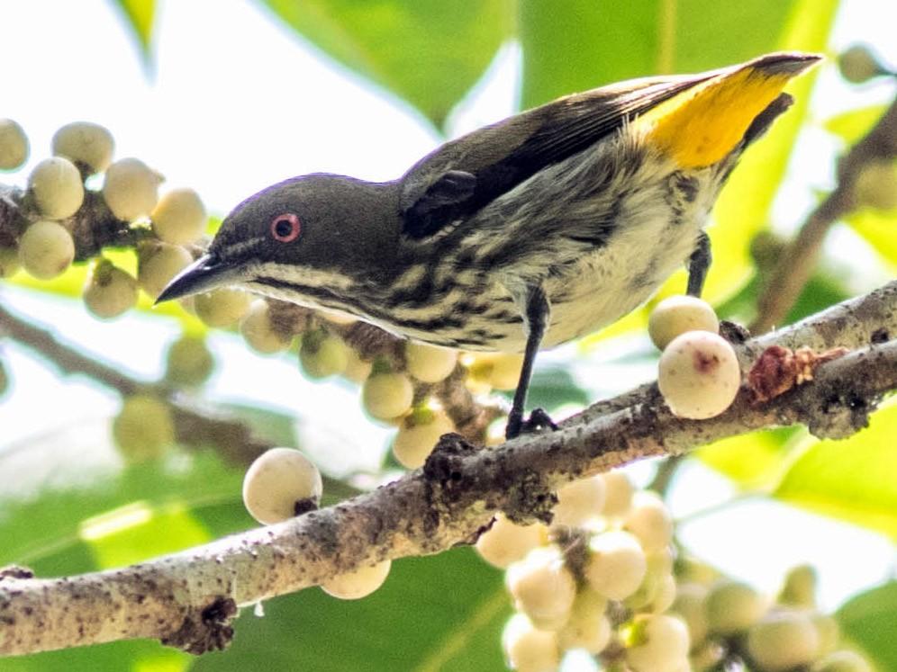 Yellow-vented Flowerpecker - Sakkarin Sansuk