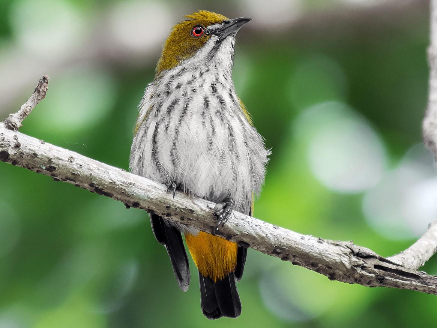 Yellow-vented Flowerpecker - Natthaphat Chotjuckdikul