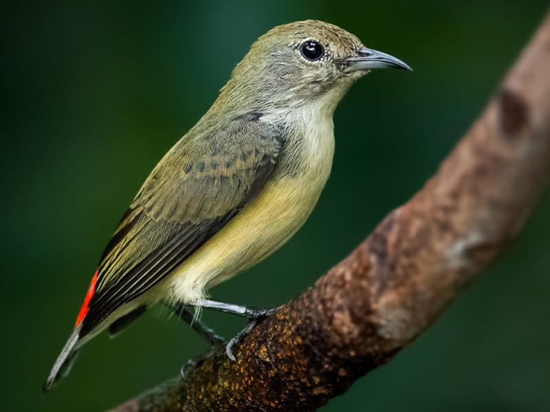 Scarlet-backed Flowerpecker - Abhishek Das