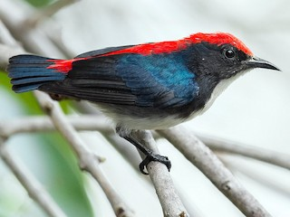 - Scarlet-backed Flowerpecker