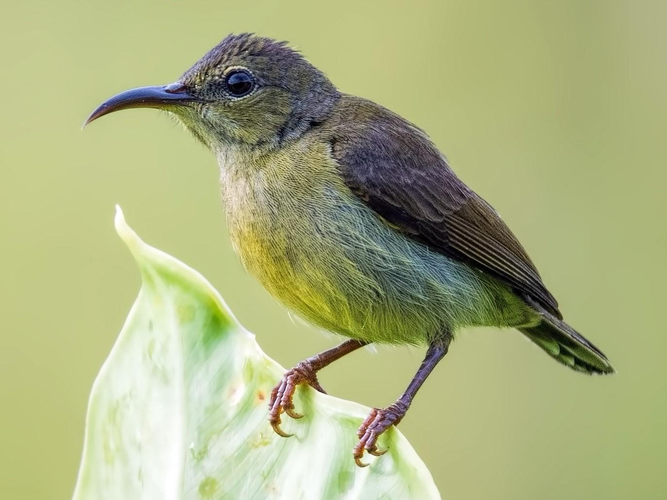Van Hasselt's Sunbird - Will Yan