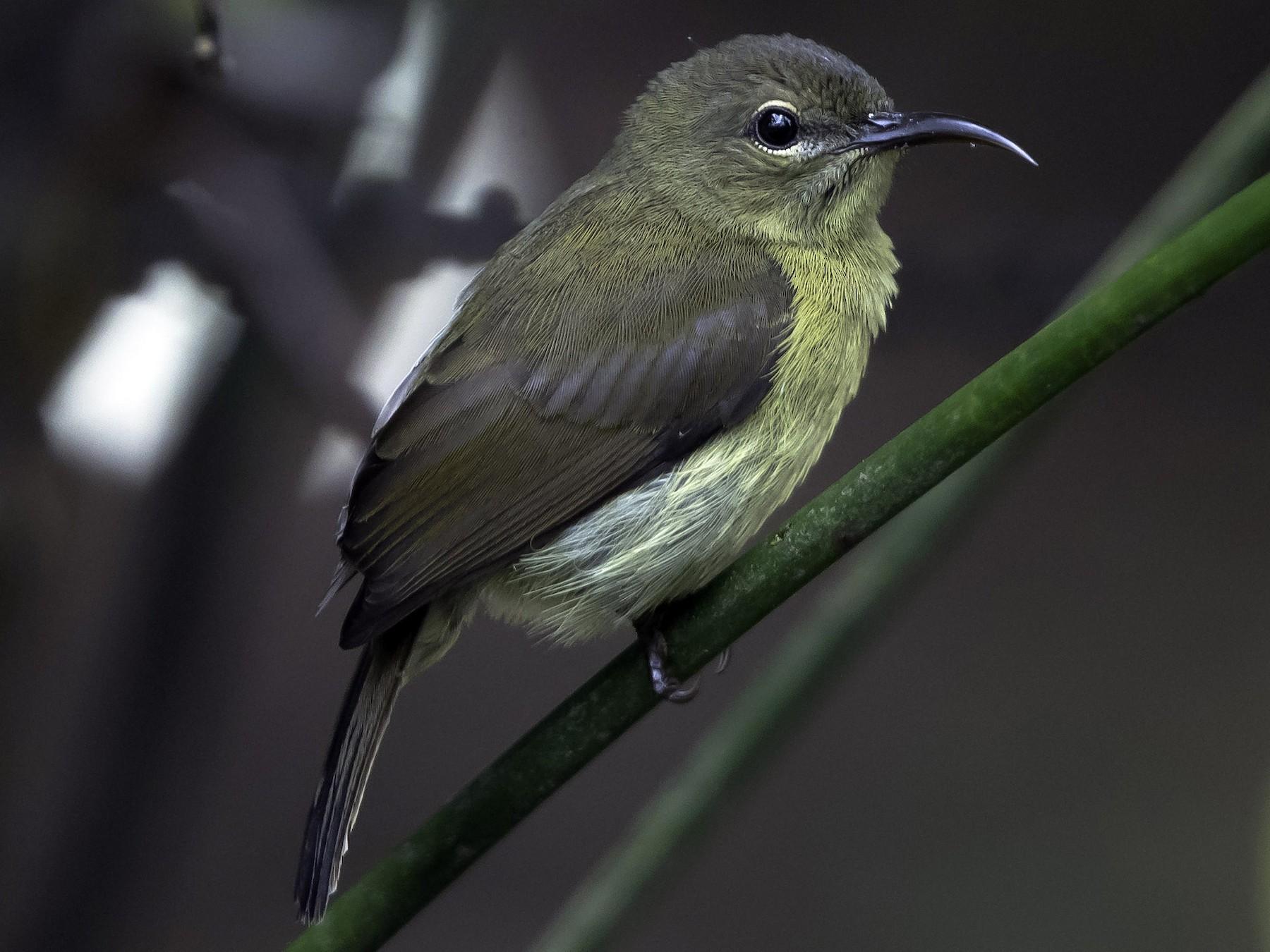 Van Hasselt's Sunbird - Rogério Rodrigues