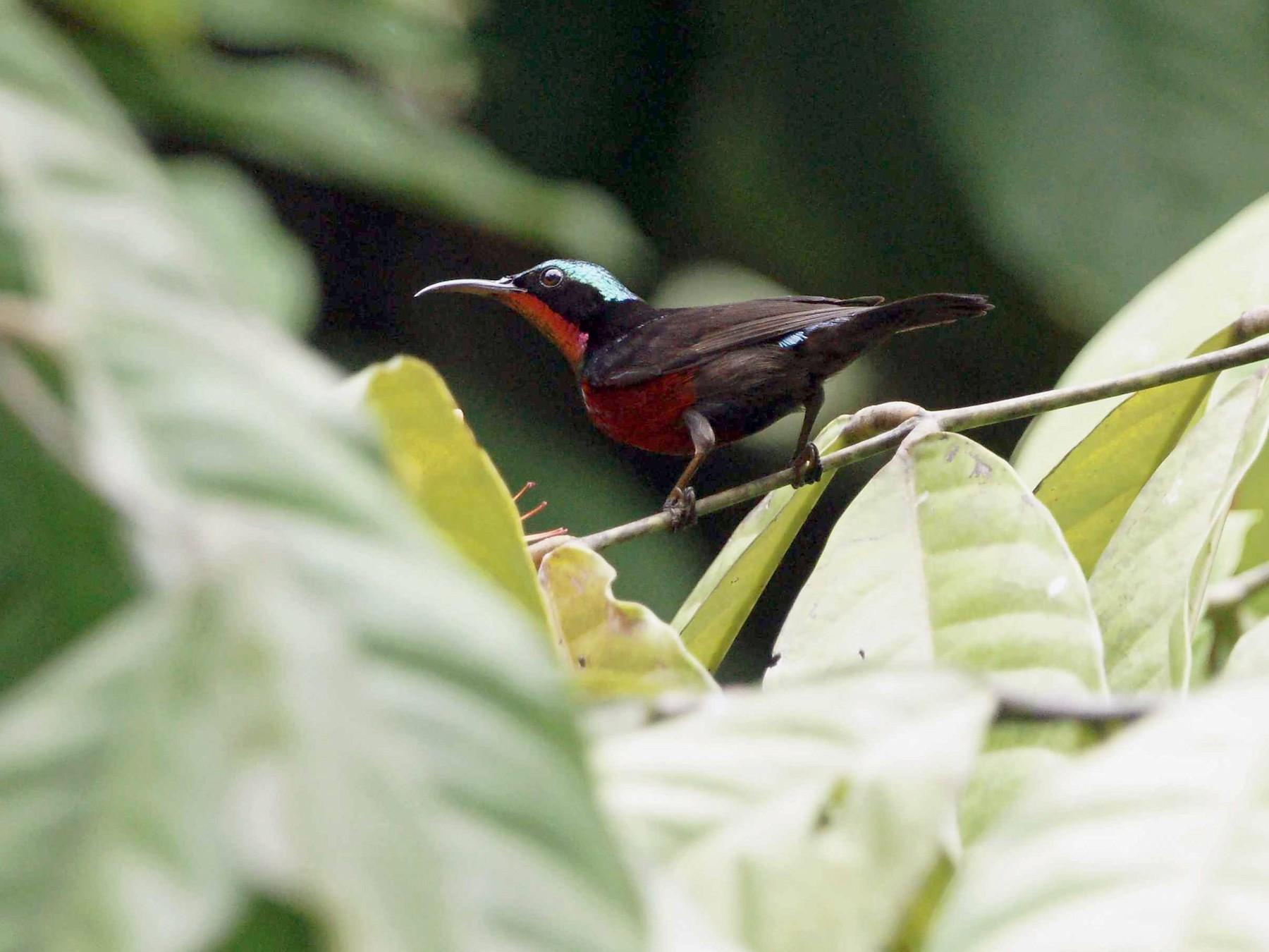 Van Hasselt's Sunbird - Kian Guan Tay
