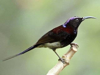 - Black-throated Sunbird