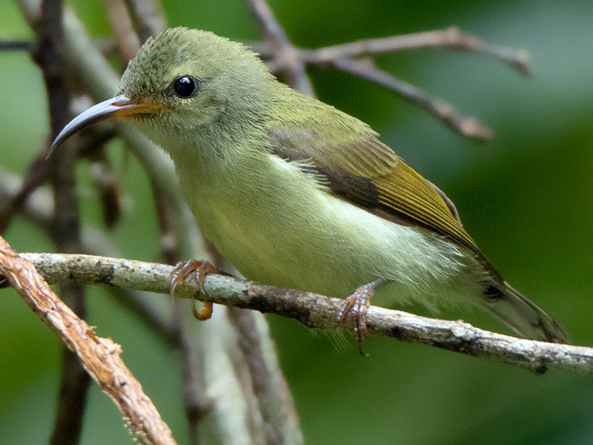 Black-throated Sunbird - Ayuwat Jearwattanakanok