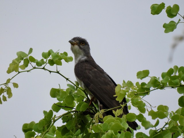 Thick-billed Cuckoo (African)