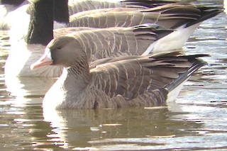 Greater White-fronted Goose, ML187660131