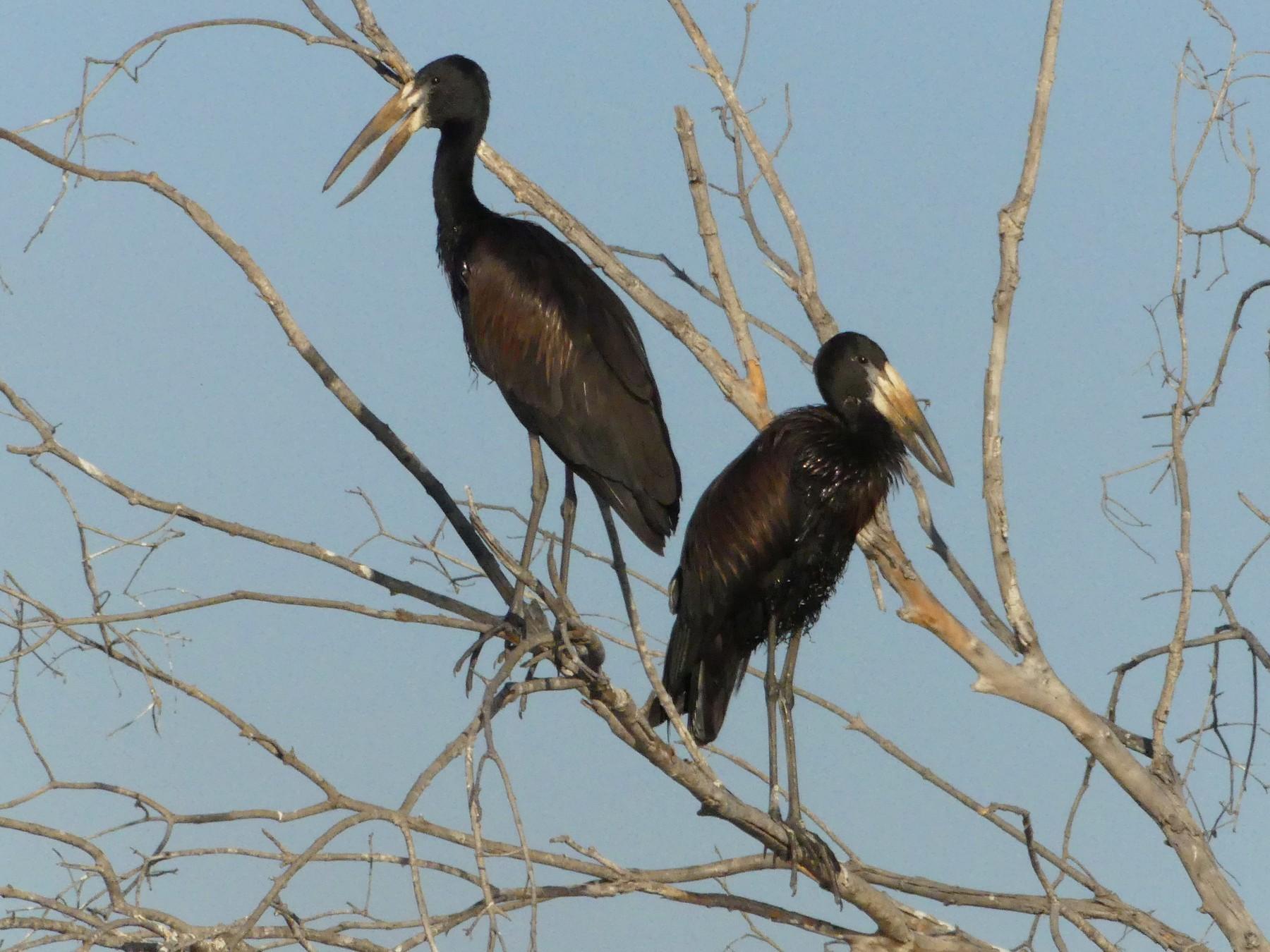 African Openbill - Peter Dunwiddie