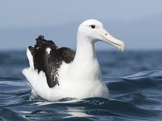 - Royal Albatross (Northern)