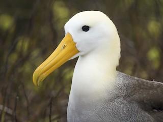 - Waved Albatross