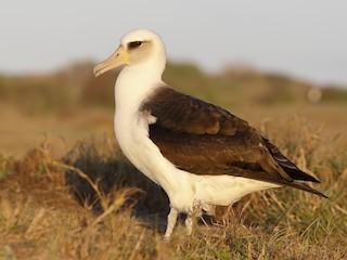 - Laysan Albatross