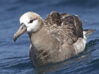 - Black-footed Albatross