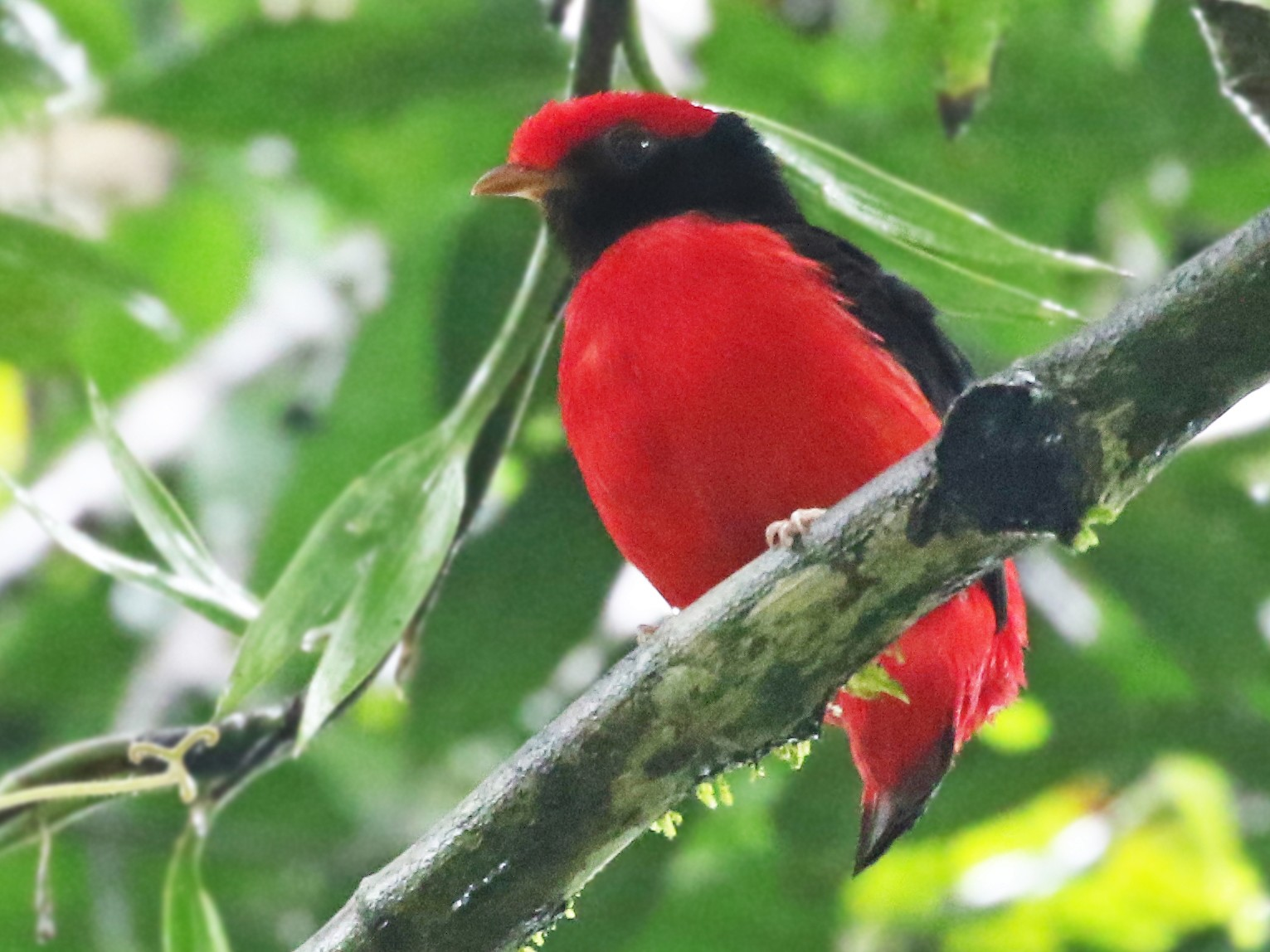 Black-necked Red-Cotinga - Andrew Spencer