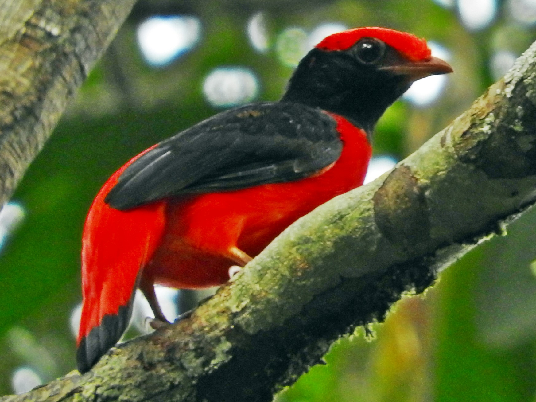 Black-necked Red-Cotinga - Chris Bell