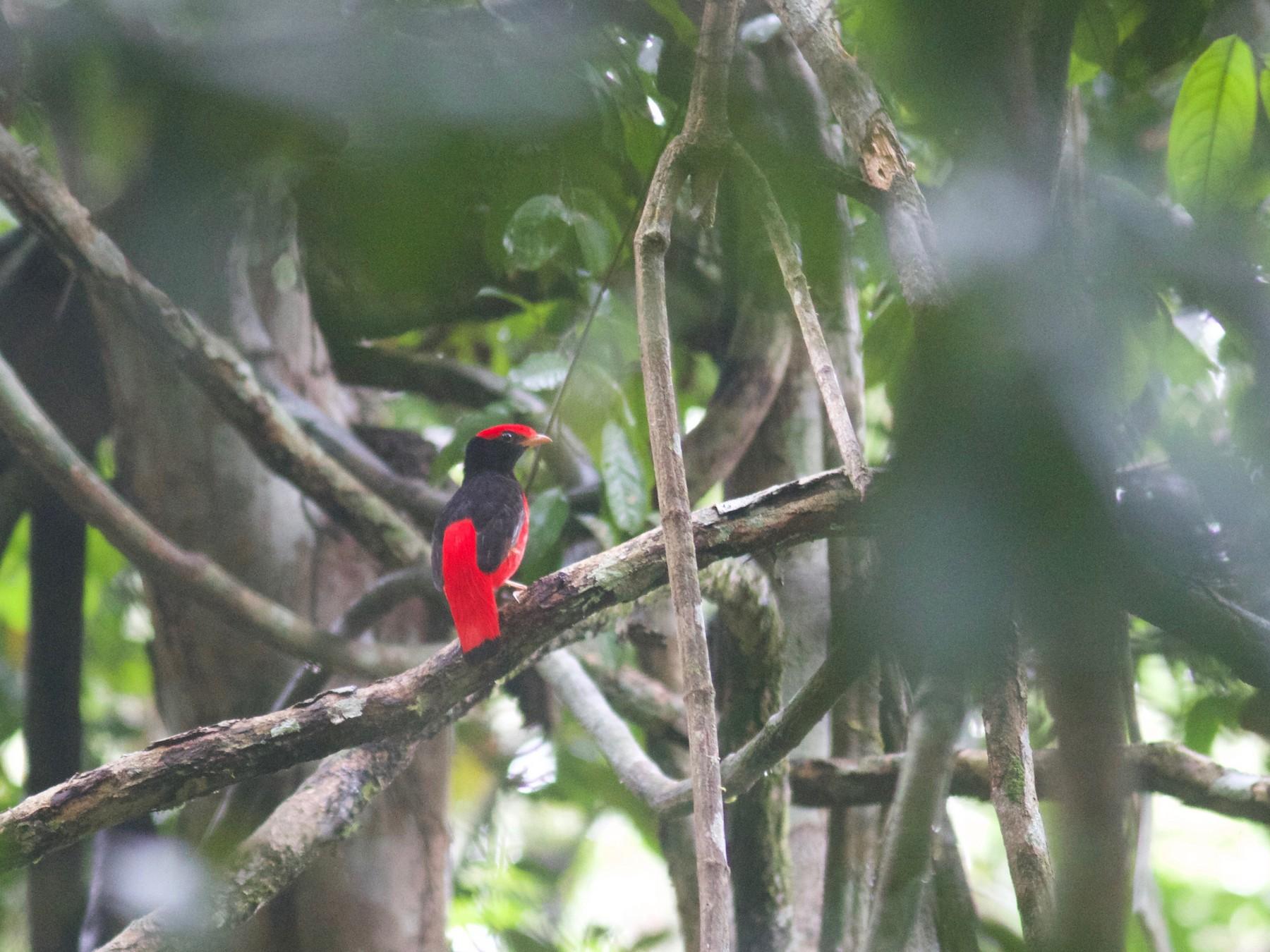 Black-necked Red-Cotinga - Gabriel Leite