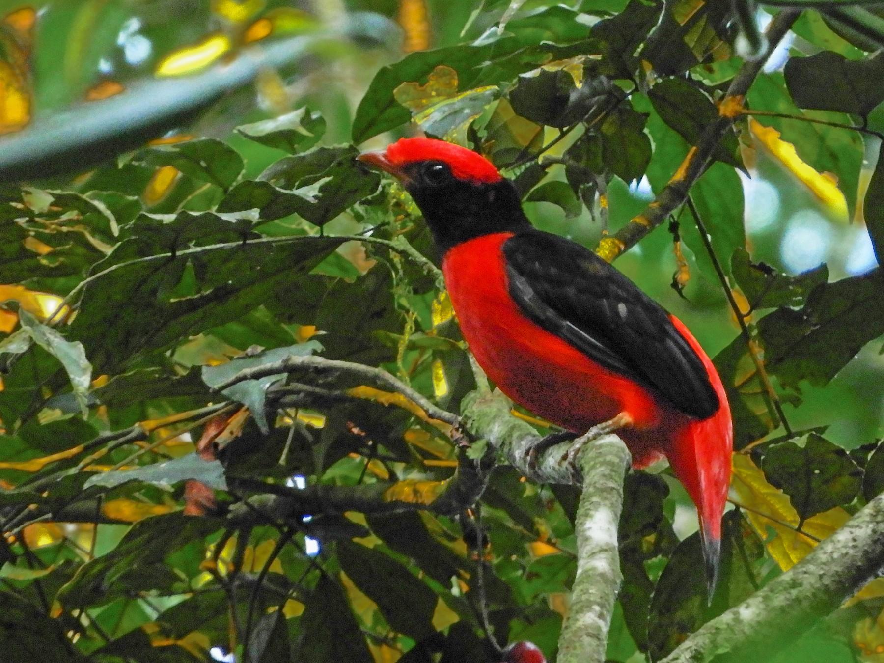 Black-necked Red-Cotinga - Jorge Muñoz García   CAQUETA BIRDING