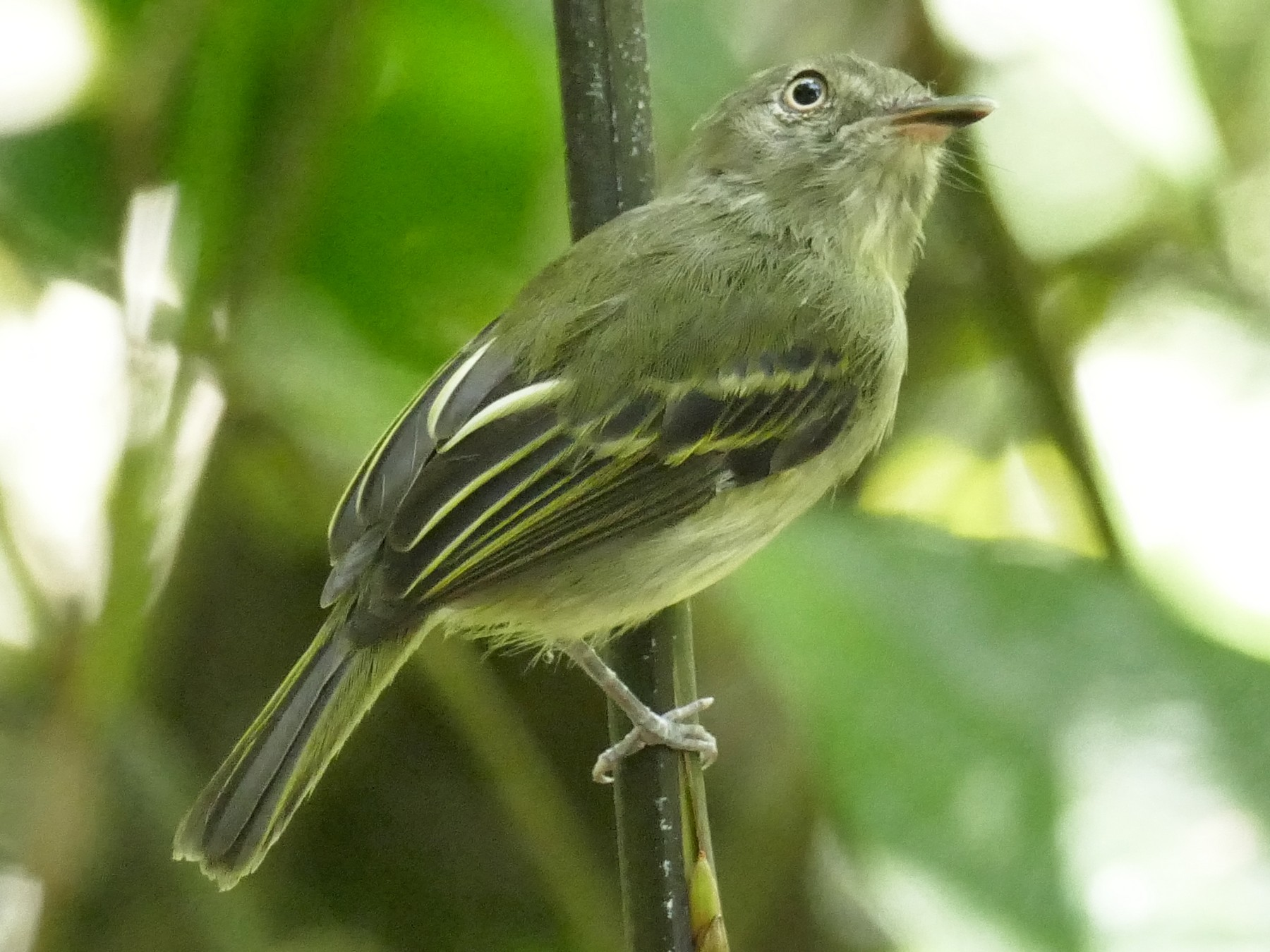 Snethlage's Tody-Tyrant - Jérôme Fischer