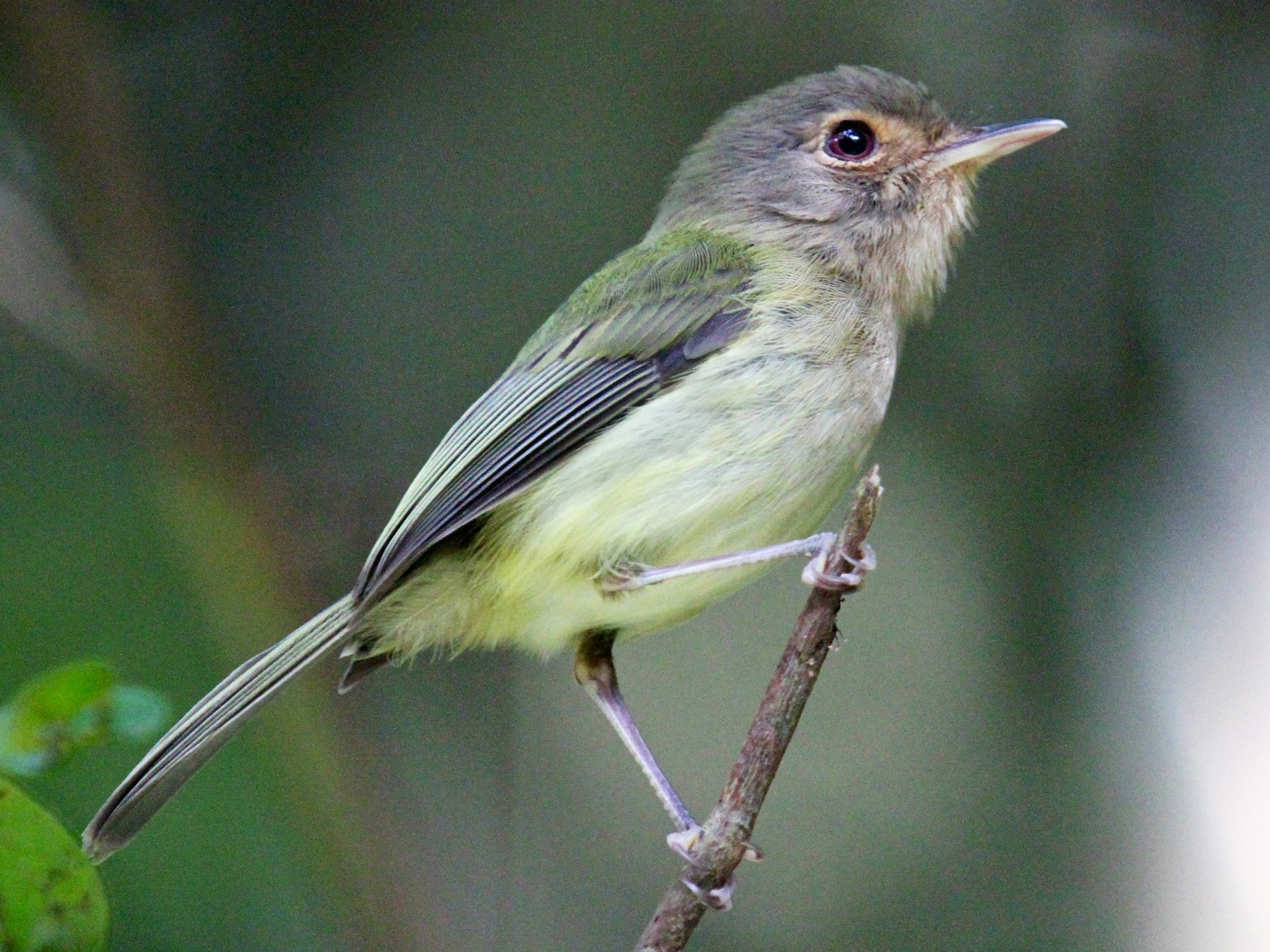 Buff-breasted Tody-Tyrant - Anthony Collerton
