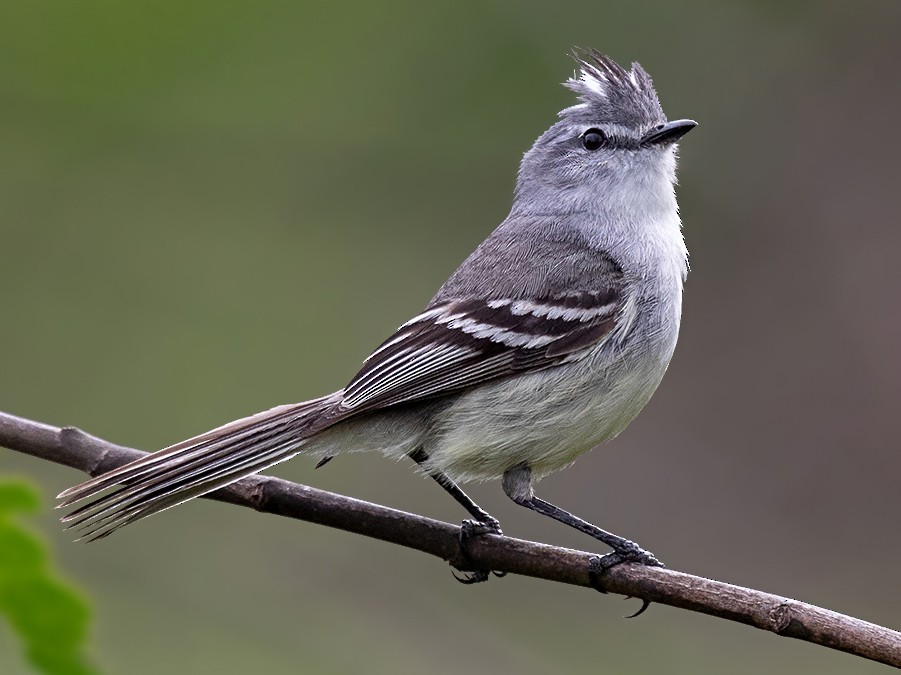 White-bellied Tyrannulet - Alexandre Gualhanone
