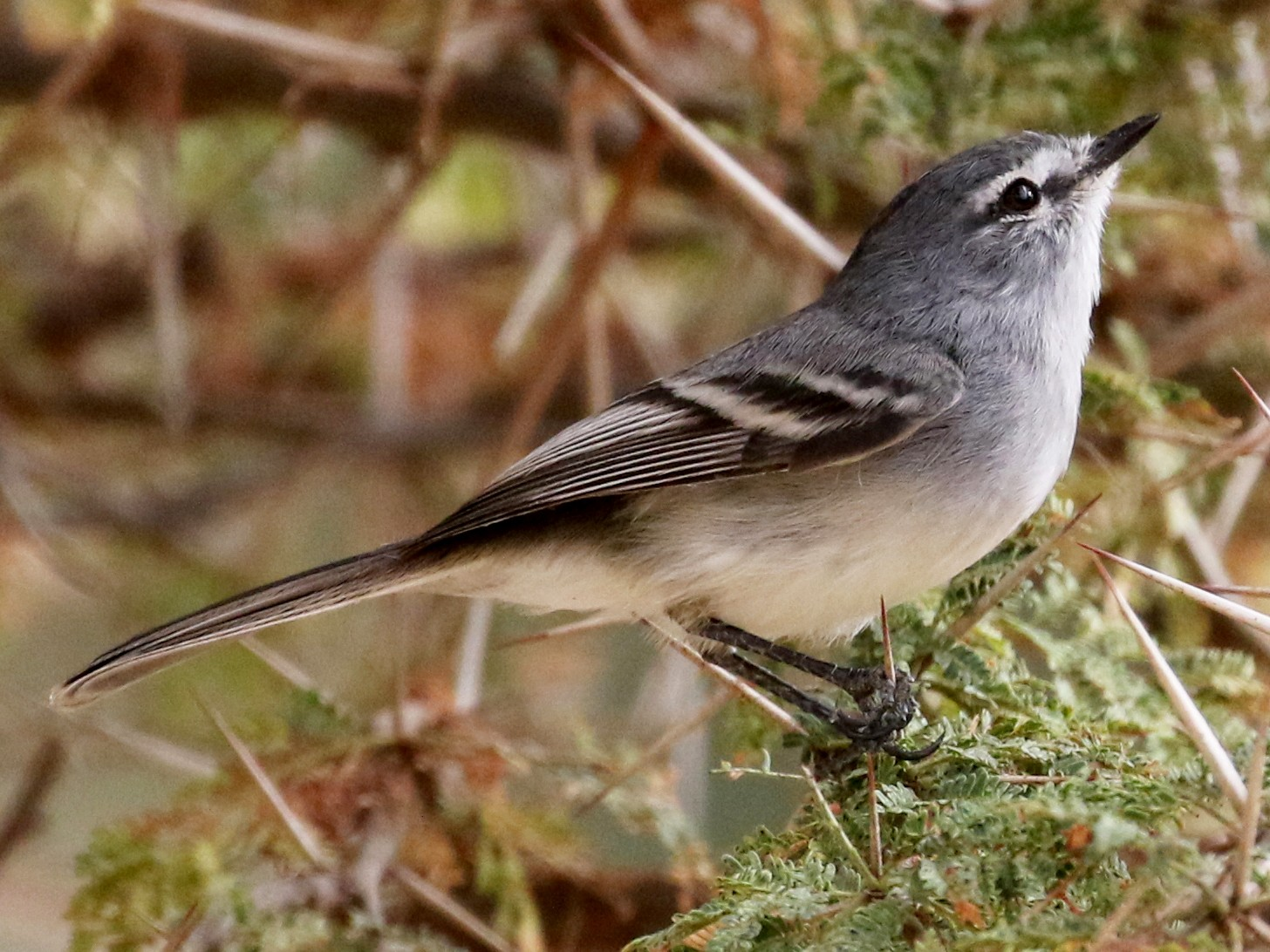 White-bellied Tyrannulet - Jay McGowan