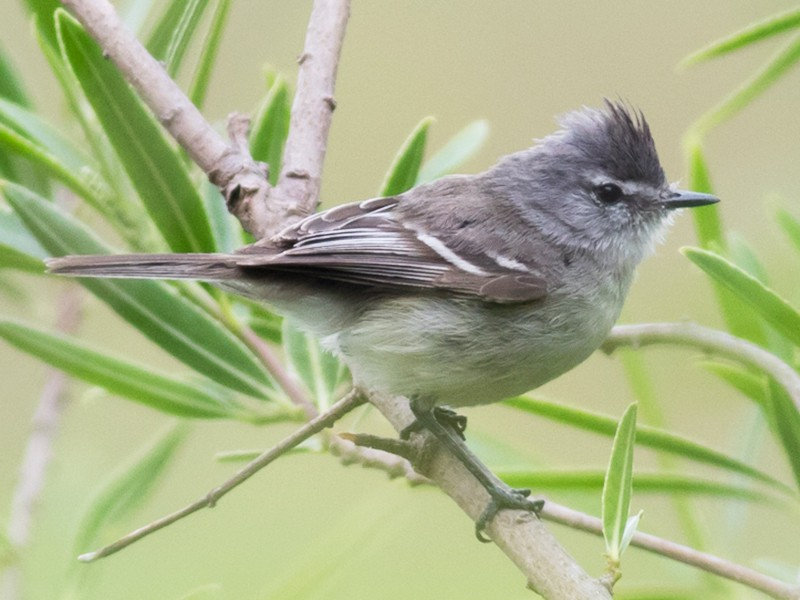 Straneck's Tyrannulet - Tom Johnson