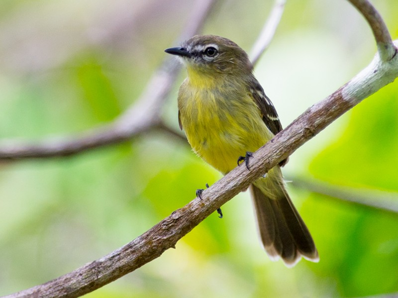 Amazonian Tyrannulet - Joao Quental JQuental
