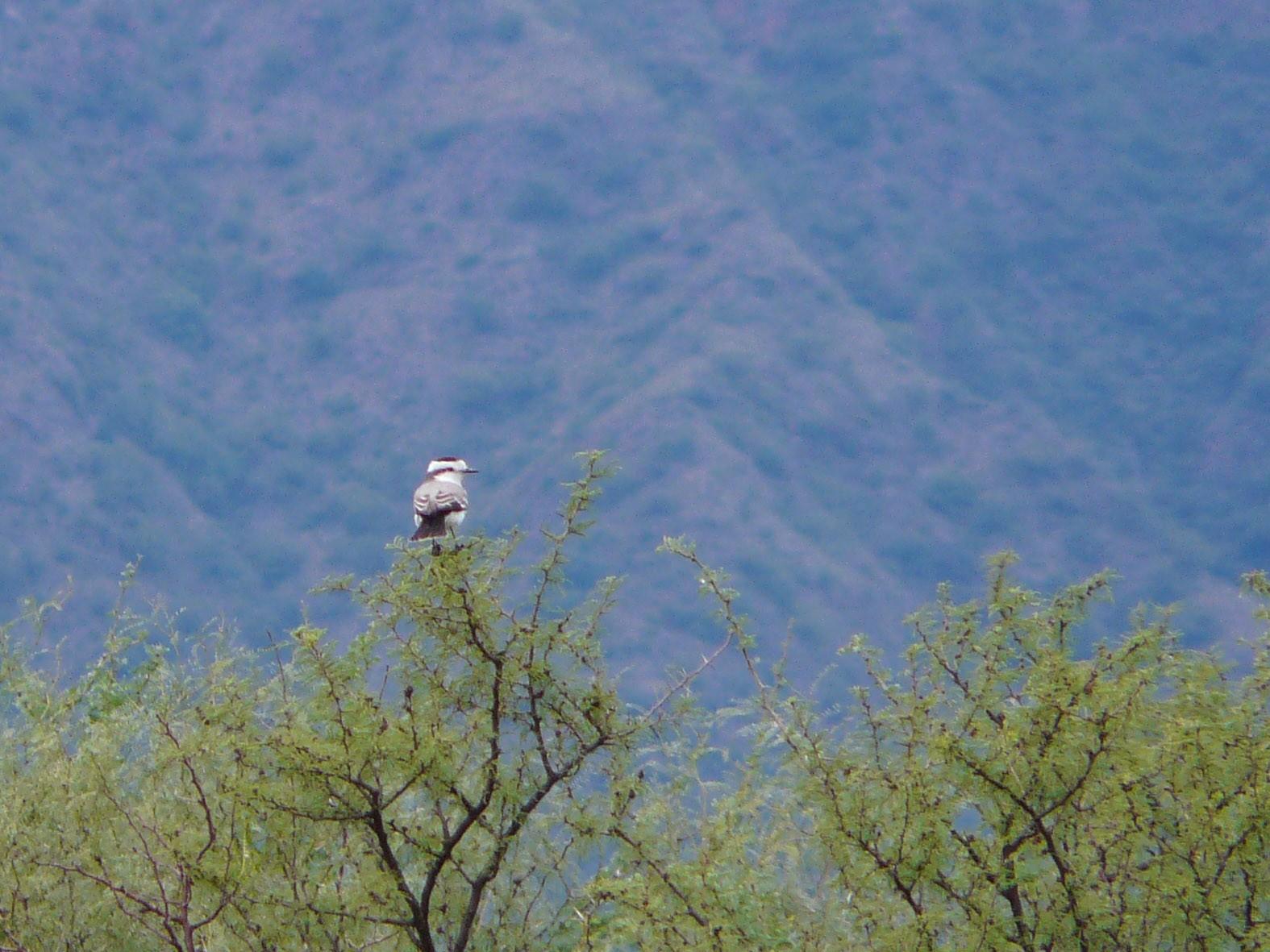 Black-crowned Monjita - Taller de Aves-UNC