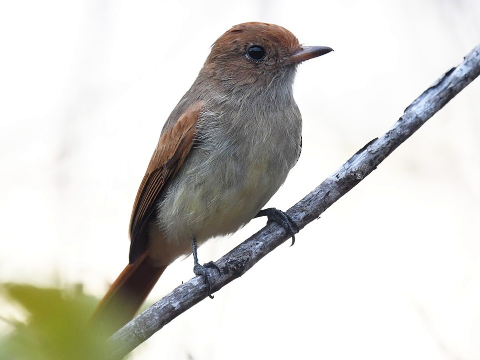 Ash-throated Casiornis - Andrew Whitehouse