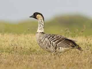 - Hawaiian Goose