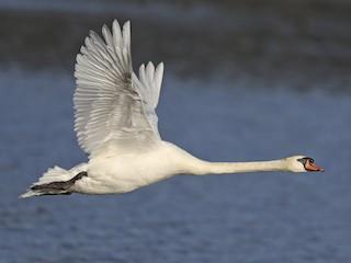 - Mute Swan