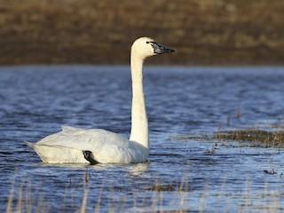 - Tundra Swan
