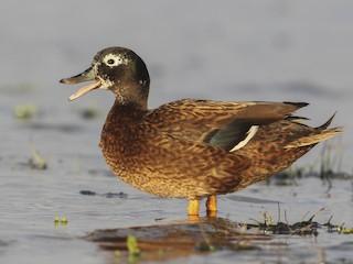 - Laysan Duck