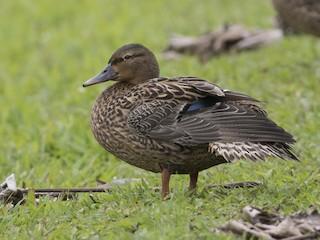 - Hawaiian Duck