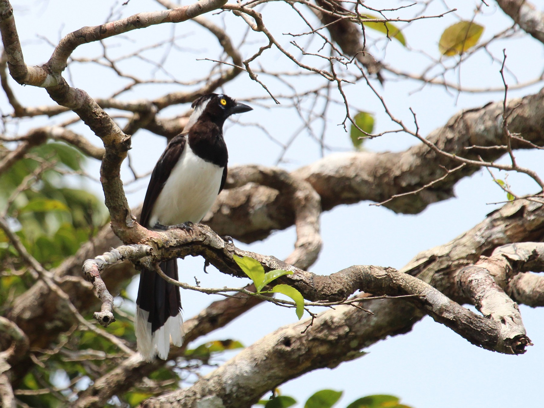 White-naped Jay - Alexander Lees