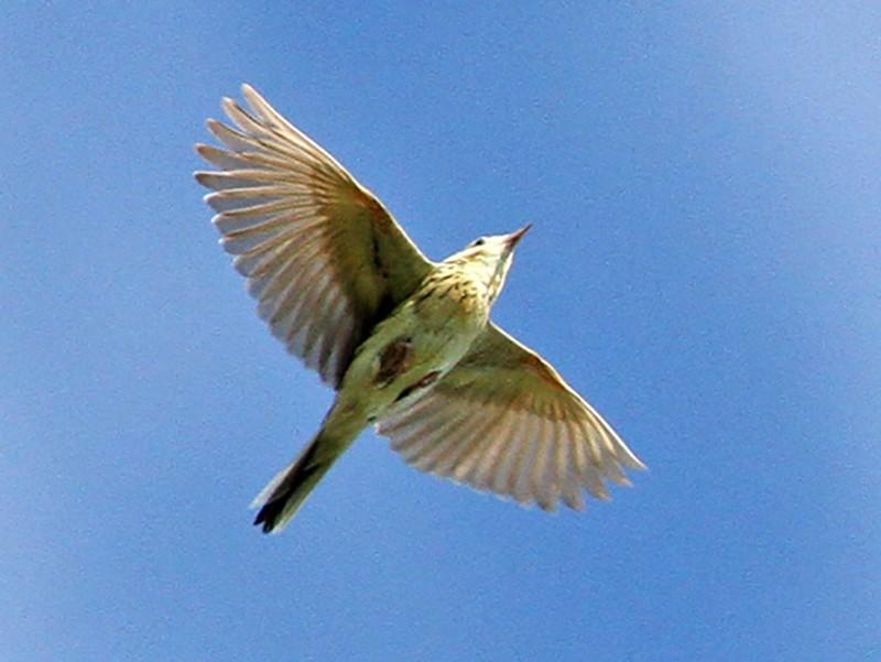 Ochre-breasted Pipit - Diego Oscar / Sandpiper Birding & Tours