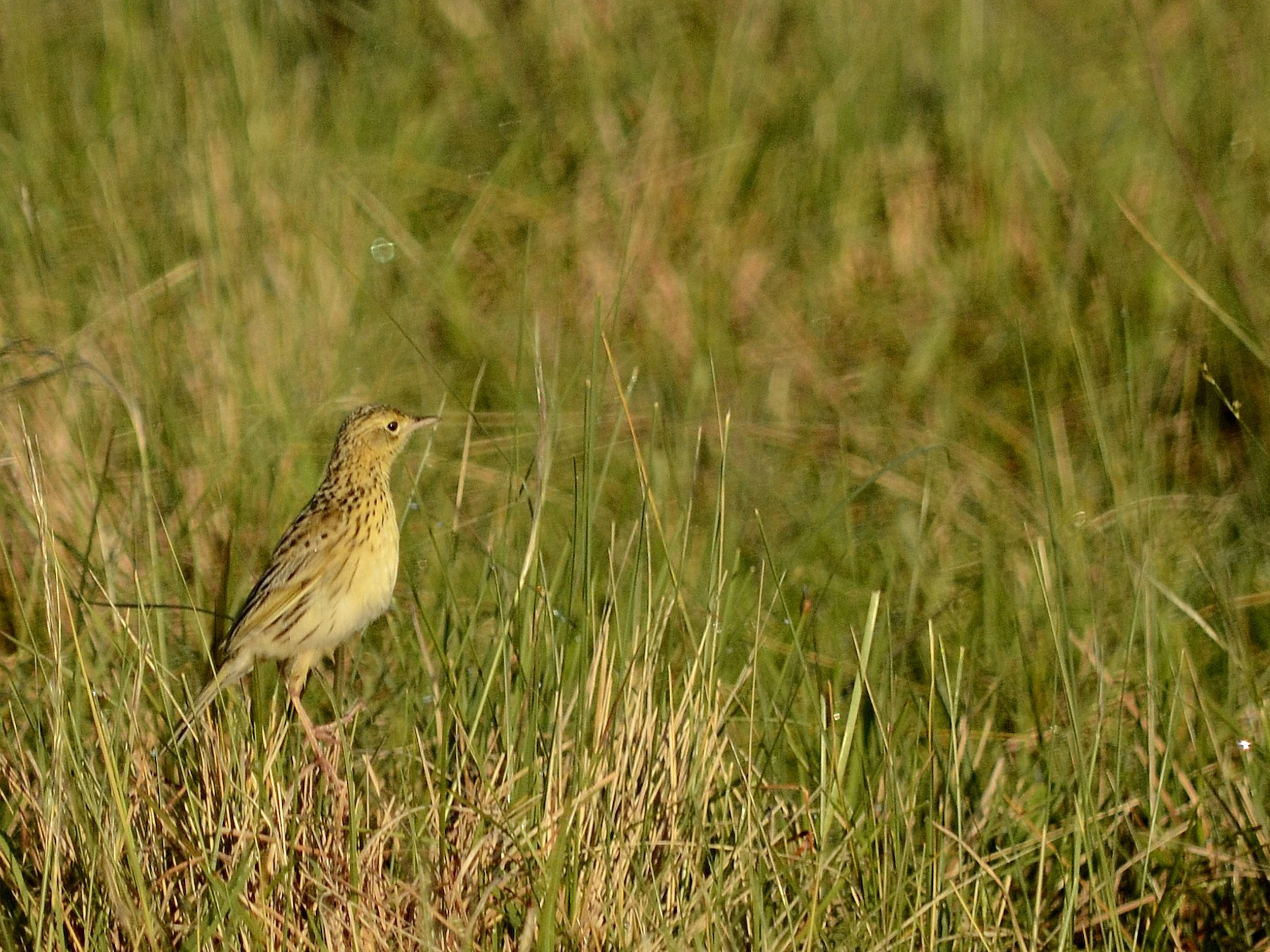Ochre-breasted Pipit - Pablo G. Fernández
