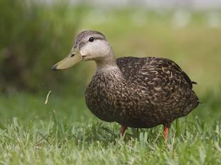 - Mottled Duck (Gulf Coast)