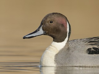 - Northern Pintail