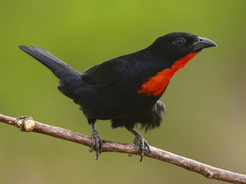 Scarlet-throated Tanager - Luiz Moschini