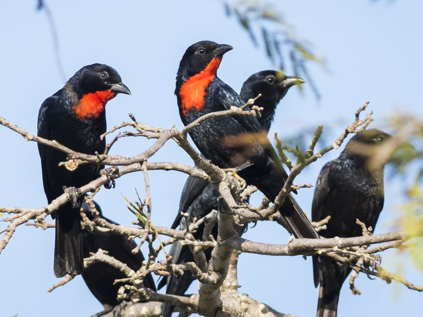 Scarlet-throated Tanager - Claudia Brasileiro