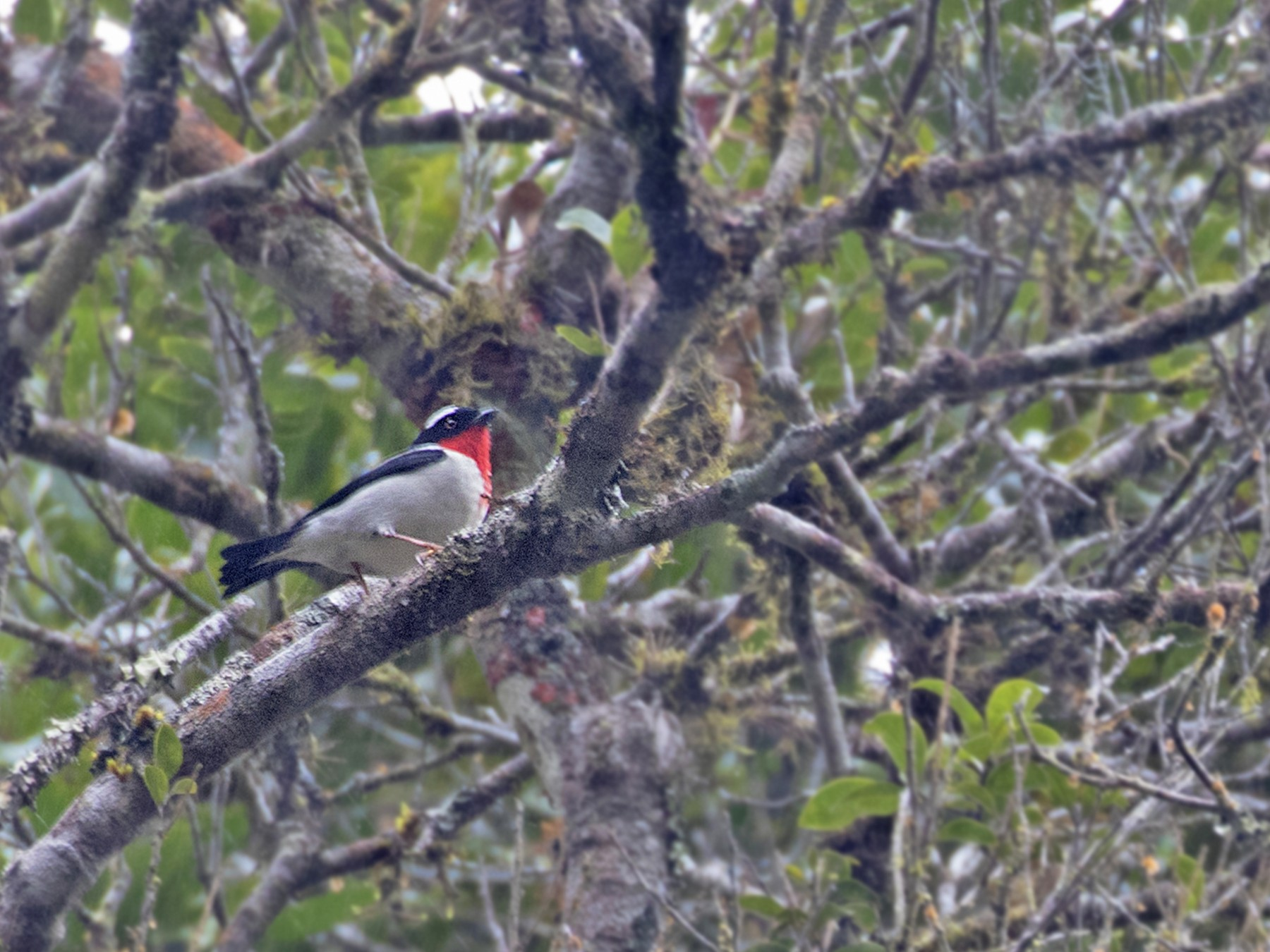 Cherry-throated Tanager - Caio Brito
