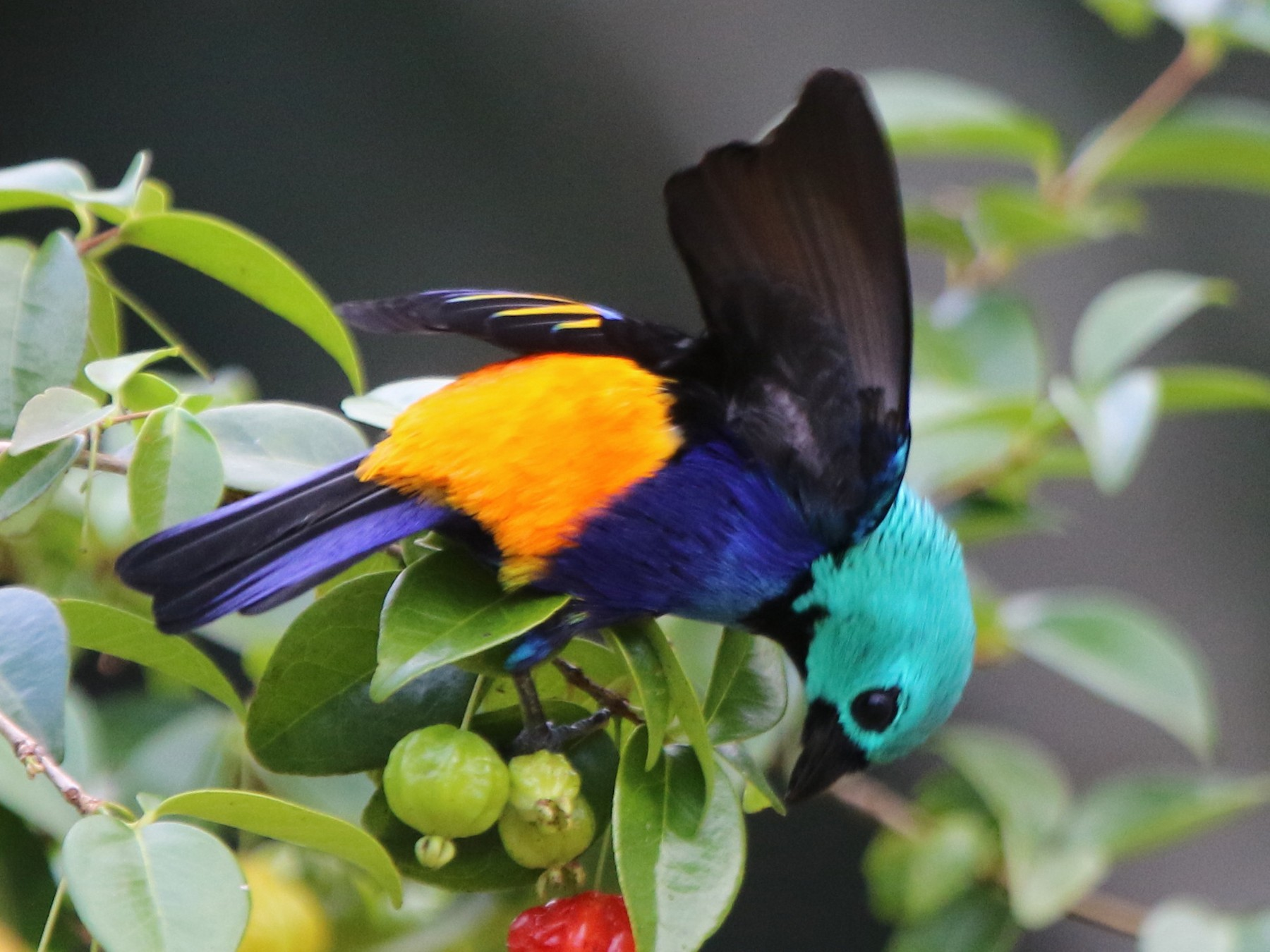 Seven-colored Tanager - Thompson Ian