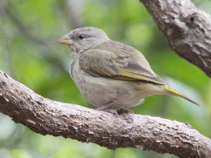 Orange-fronted Yellow-Finch - Oswaldo Hernandez