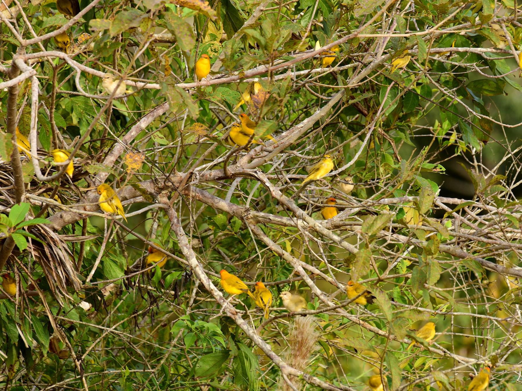 Orange-fronted Yellow-Finch - Luiz Moschini