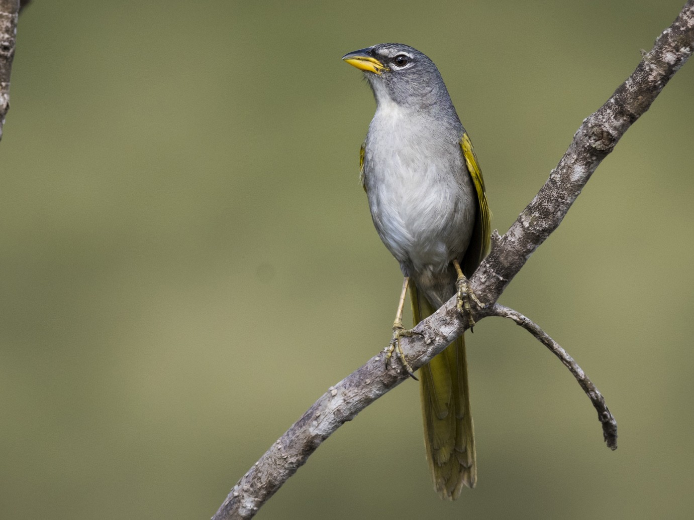 Pale-throated Pampa-Finch - Claudia Brasileiro