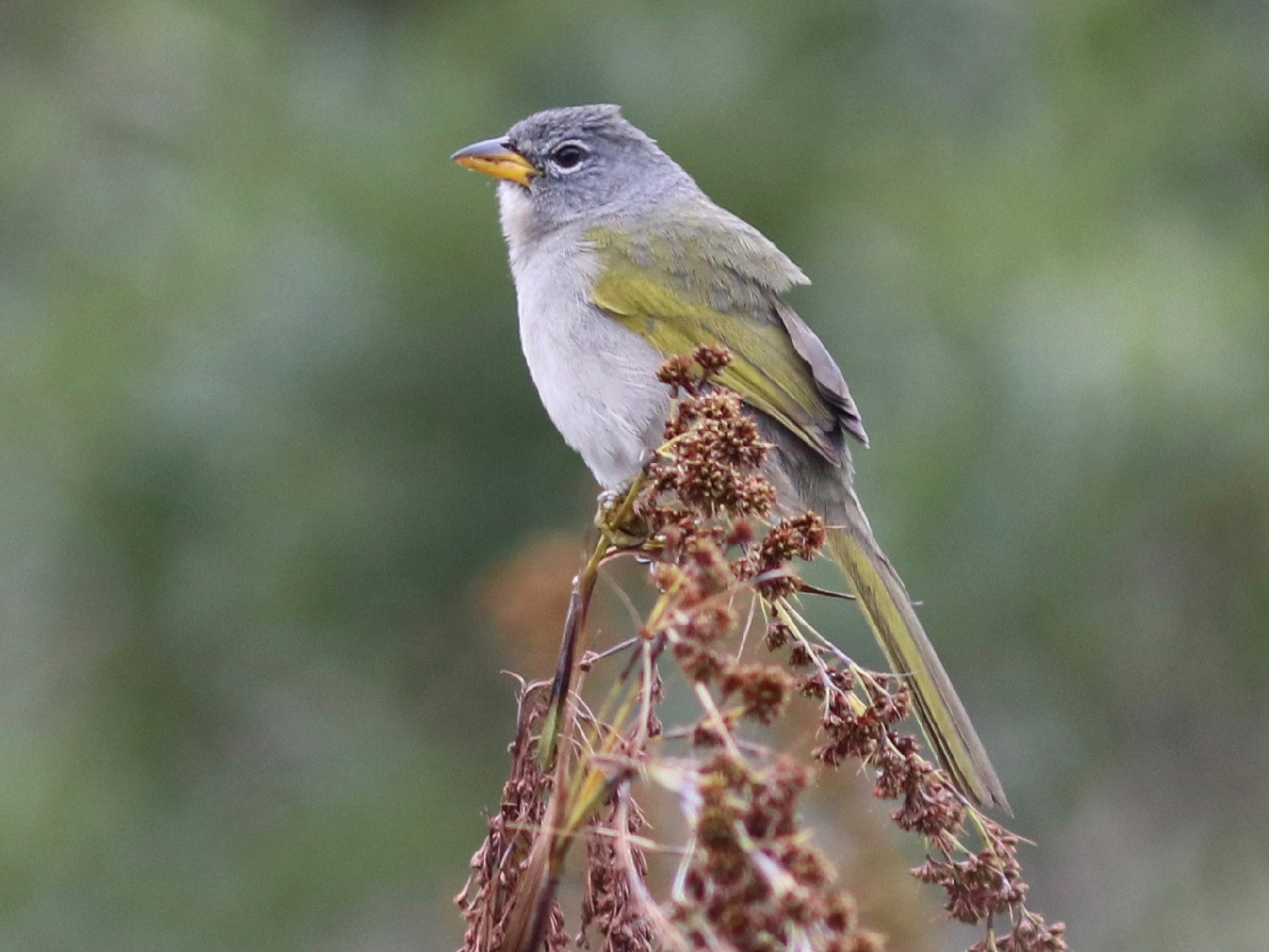 Pale-throated Pampa-Finch - Andre Moncrieff