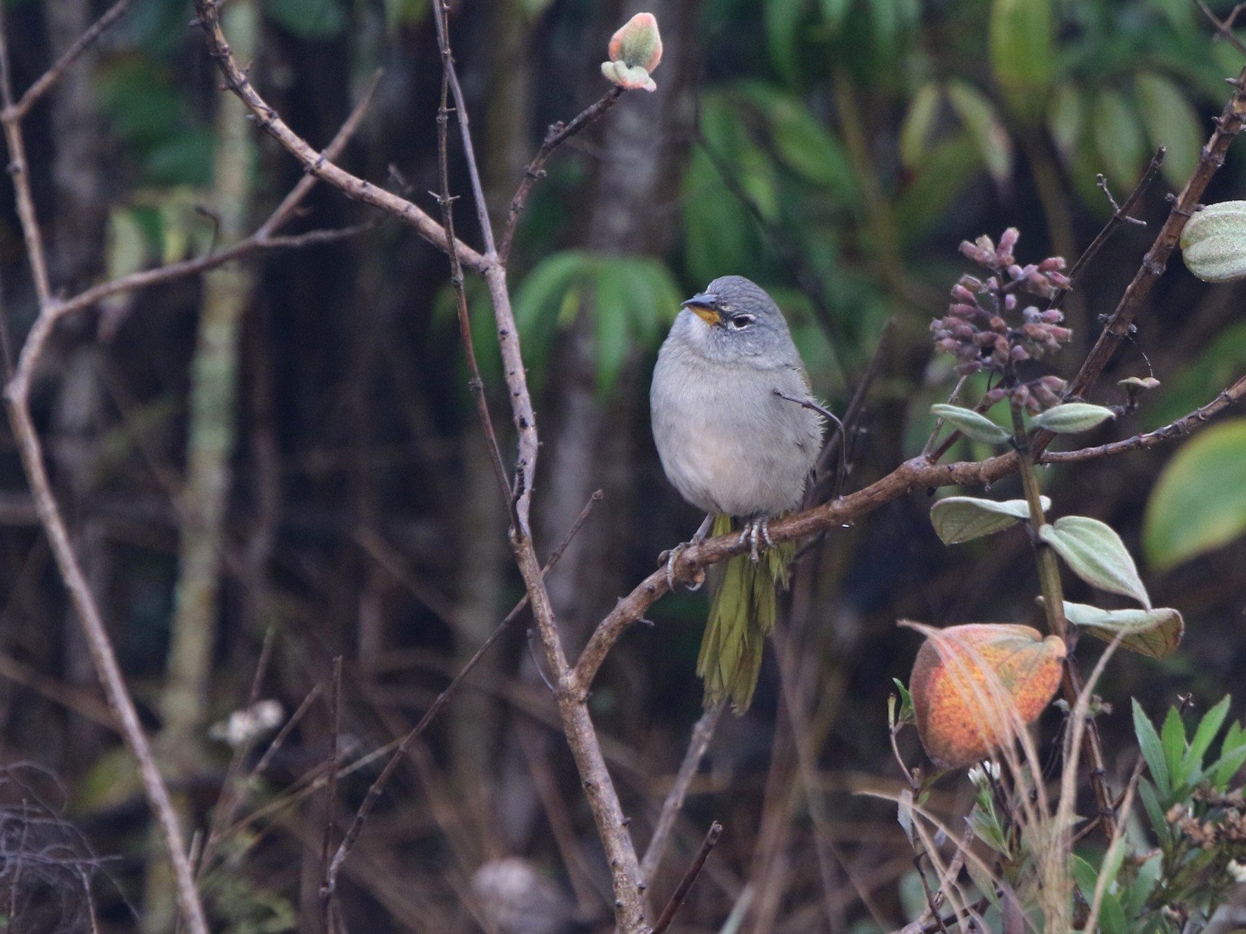 Pale-throated Pampa-Finch - Thompson Ian