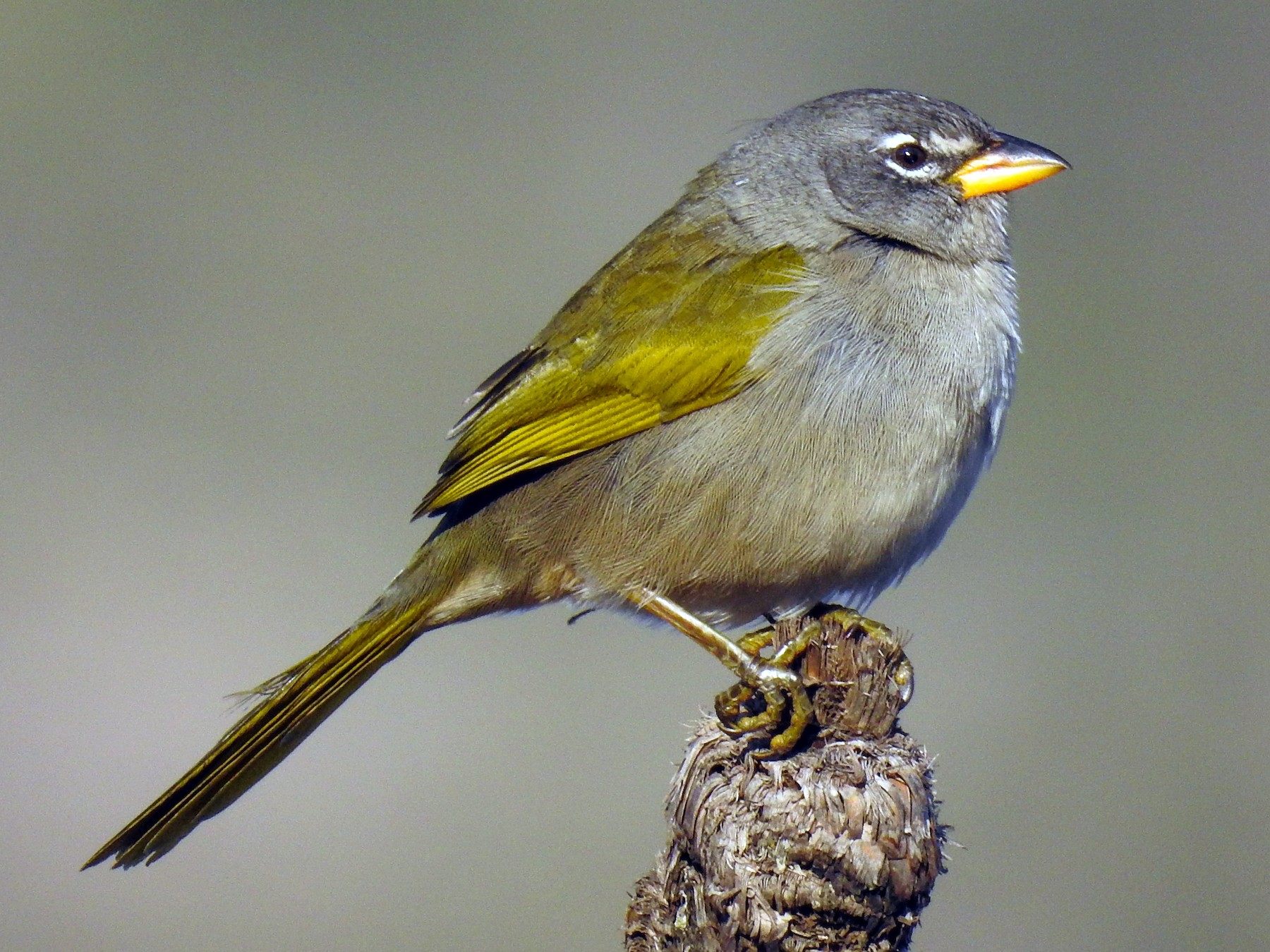 Pale-throated Pampa-Finch - Pam Rasmussen